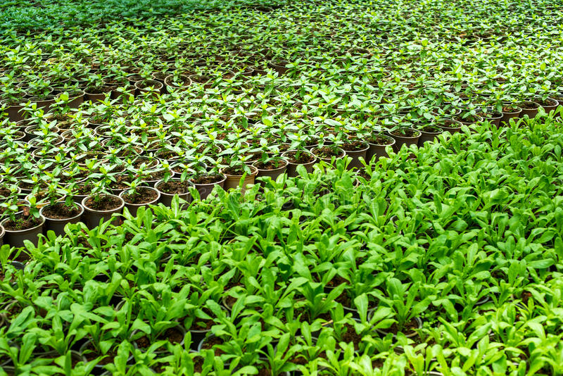 Plantor av blommor i växthuset fotografering för bildbyråer