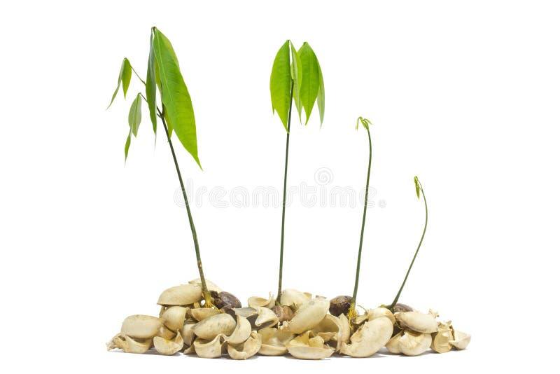 Plantor av gummiträd. royaltyfri fotografi