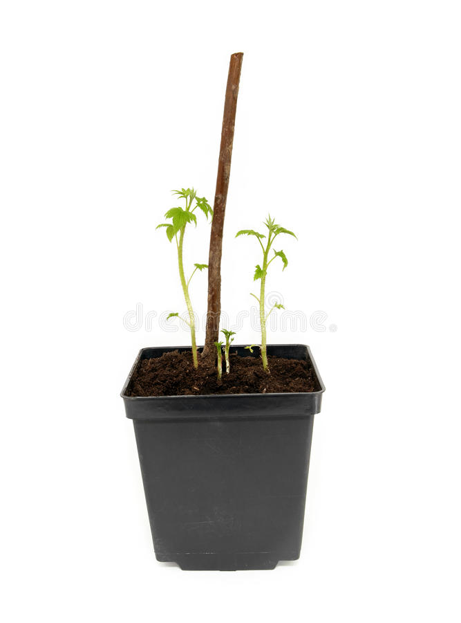 Plantor av hallon royaltyfria foton