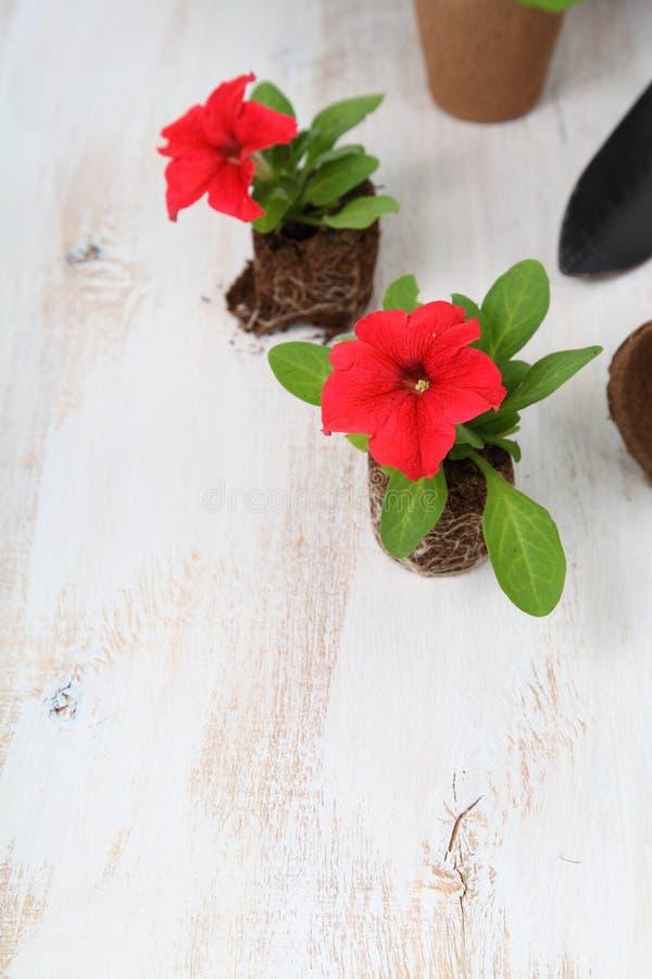 Plantor av petunior i torvkrukor royaltyfri bild