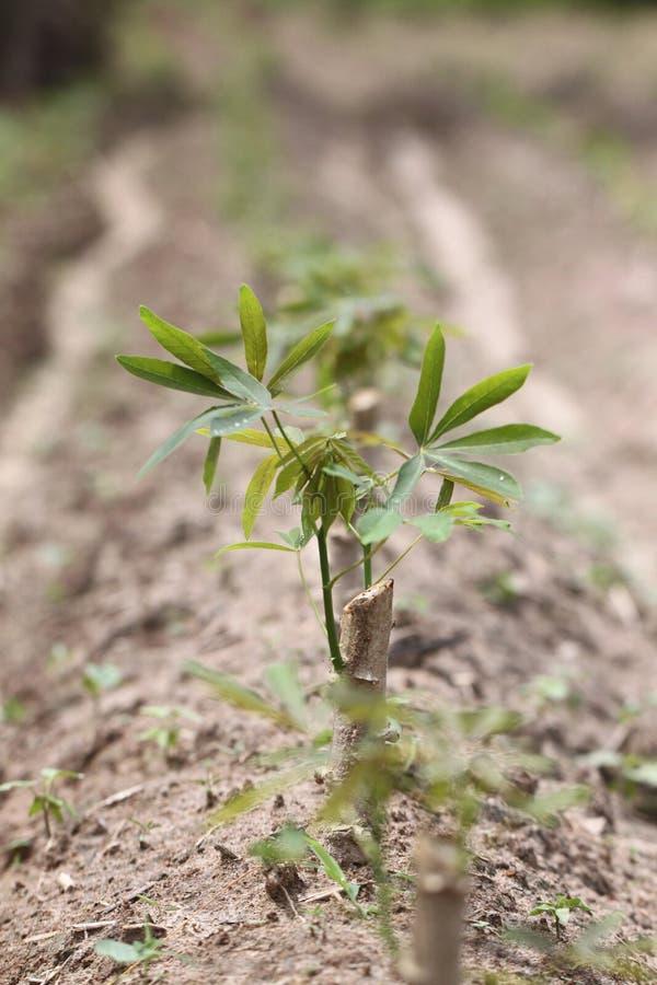 Plantor av sötpotatisen royaltyfri foto