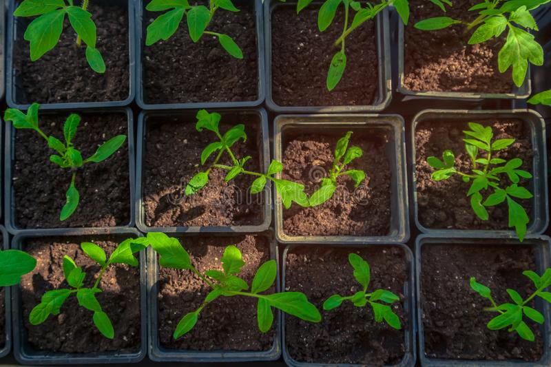 Plantor av unga växter, groddar av tomater royaltyfria bilder