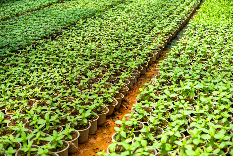 Plantor i ett växthus, växter i krukor arkivfoton