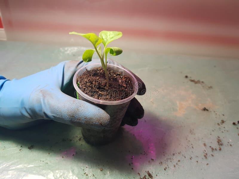 Plantor - mycket härliga aubergineplantor i en kruka i en behandskad hand royaltyfria foton