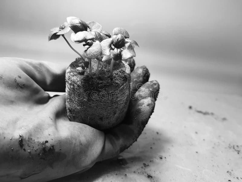 Plantor - mycket härliga basilikaplantor i en kruka i en behandskad hand arkivfoton