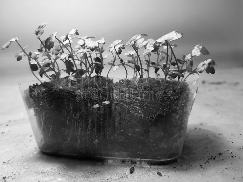 Plantor - mycket härliga selleriplantor i en kruka arkivbild