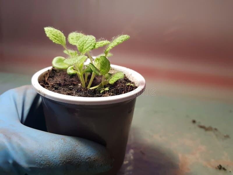 Plantor - mycket härliga visa plantor i en kruka i en behandskad hand royaltyfri fotografi