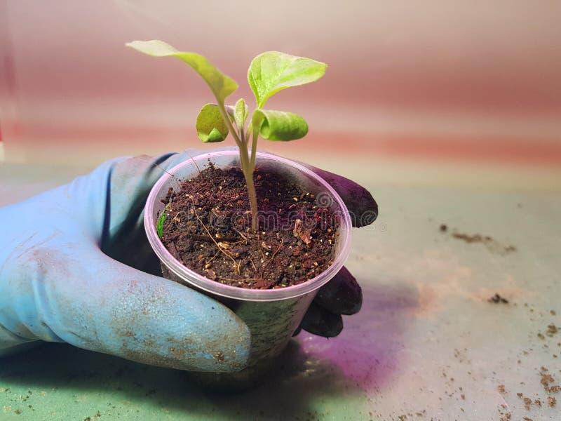 Plantor - mycket h?rliga aubergineplantor i en kruka i en behandskad hand royaltyfri foto