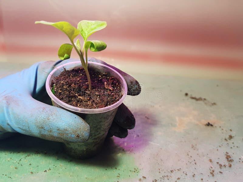 Plantor - mycket h?rliga aubergineplantor i en kruka i en behandskad hand royaltyfria foton