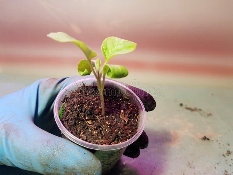 Plantor - mycket h?rliga aubergineplantor i en kruka i en behandskad hand arkivbild
