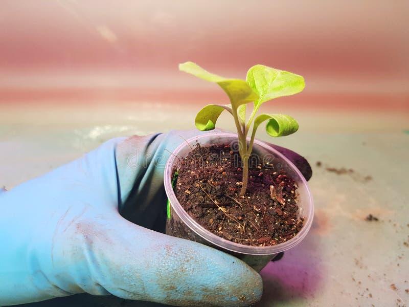 Plantor - mycket h?rliga aubergineplantor i en kruka i en behandskad hand fotografering för bildbyråer