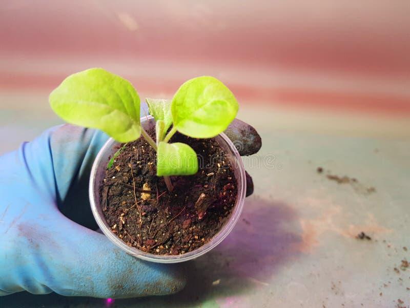 Plantor - mycket h?rliga aubergineplantor i en kruka i en behandskad hand royaltyfri bild