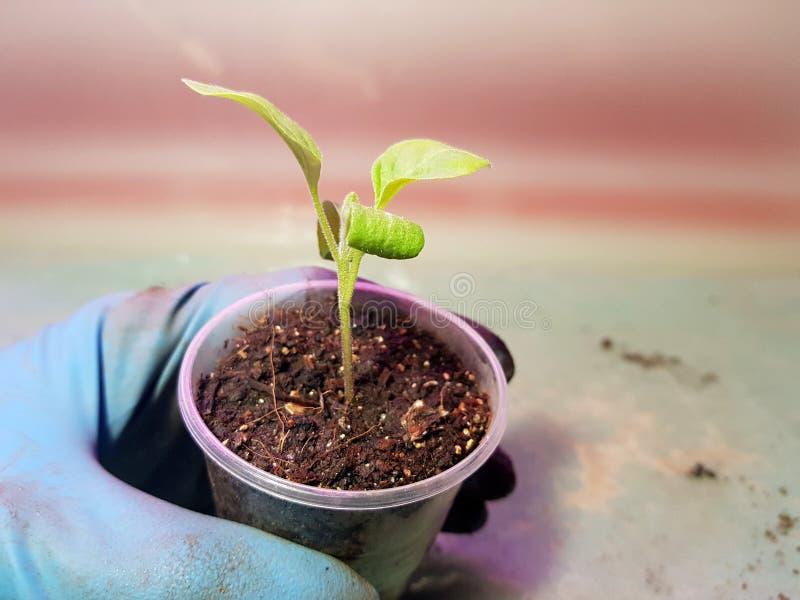 Plantor - mycket h?rliga aubergineplantor i en kruka i en behandskad hand arkivfoton