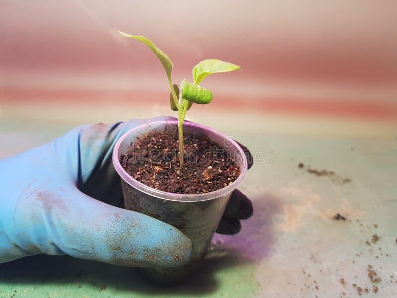 Plantor - mycket h?rliga aubergineplantor i en kruka i en behandskad hand arkivfoto