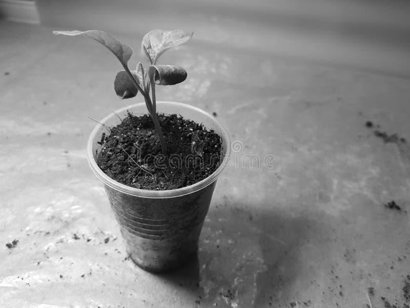 Plantor - mycket h?rliga aubergineplantor i en kruka arkivbilder