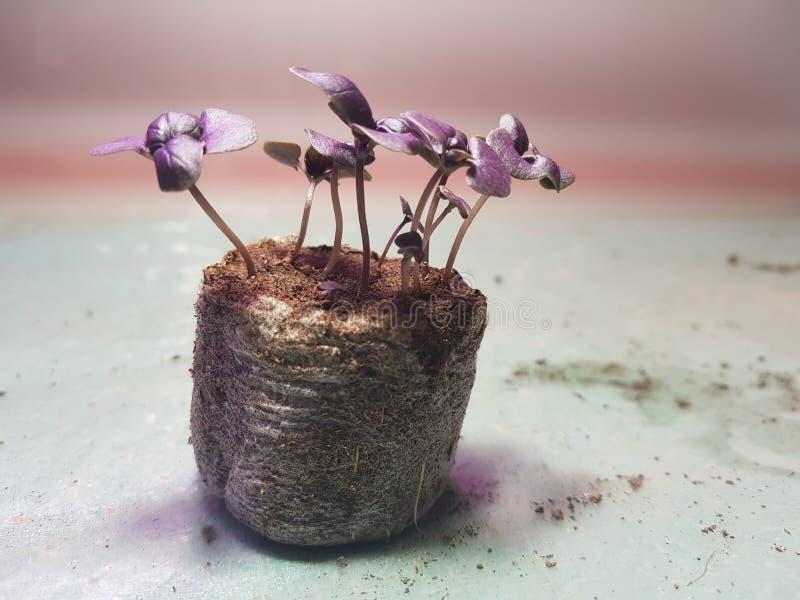 Plantor - mycket h?rliga plantor av basilika i en kruka royaltyfri fotografi