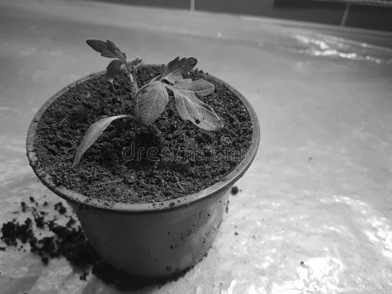 Plantor - mycket h?rliga plantor av tomaten eller tomaten i en kruka royaltyfri bild