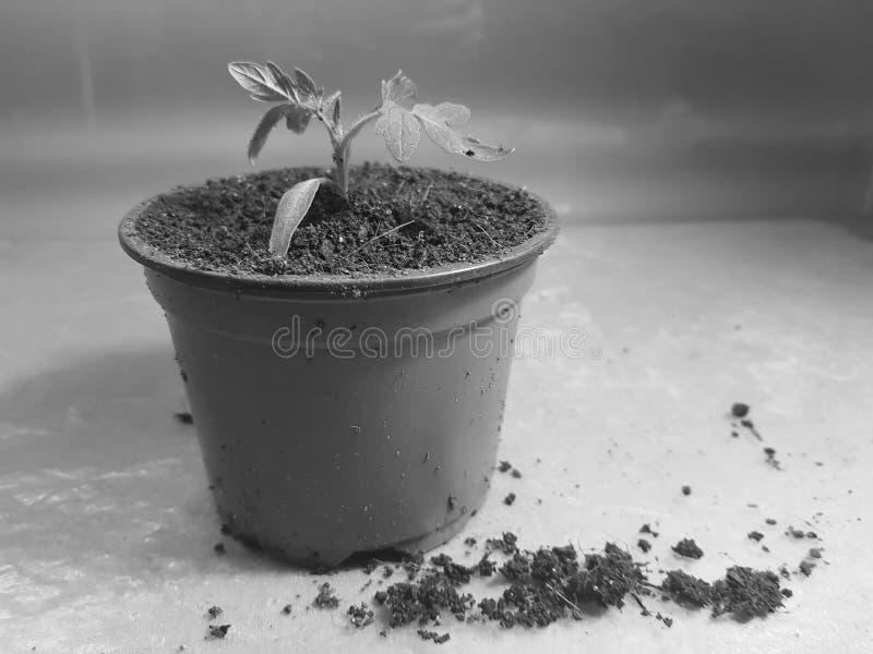 Plantor - mycket h?rliga plantor av tomaten eller tomaten i en kruka royaltyfri foto