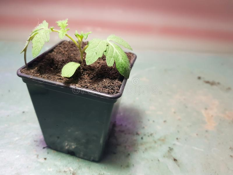 Plantor - mycket h?rliga plantor av tomaten eller tomaten i en kruka fotografering för bildbyråer