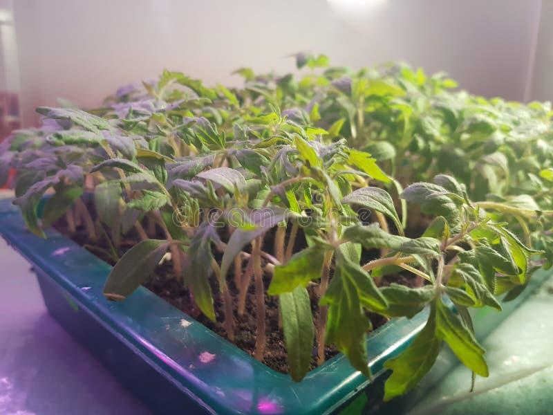 Plantor - mycket h?rliga plantor av tomaten eller tomaten i ett magasin eller magasinet f?r plantor arkivfoto