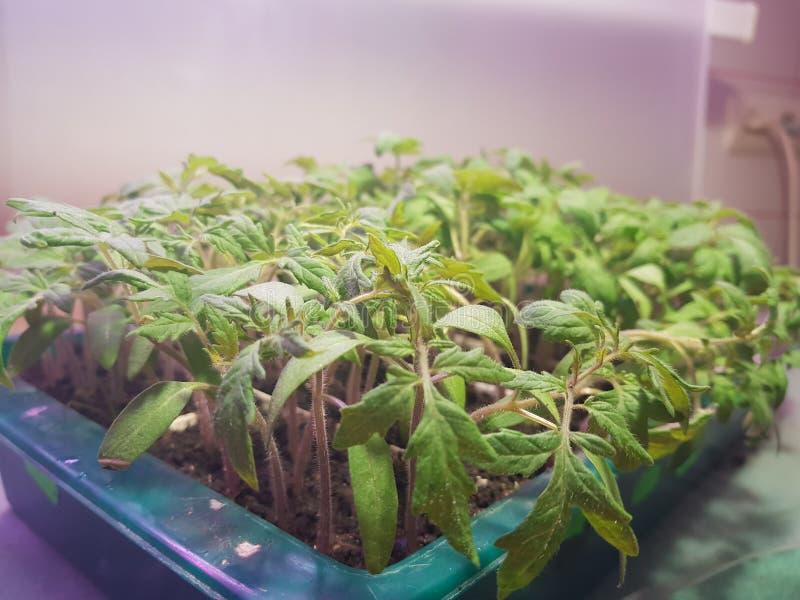 Plantor - mycket h?rliga plantor av tomaten eller tomaten i ett magasin eller magasinet f?r plantor royaltyfri bild