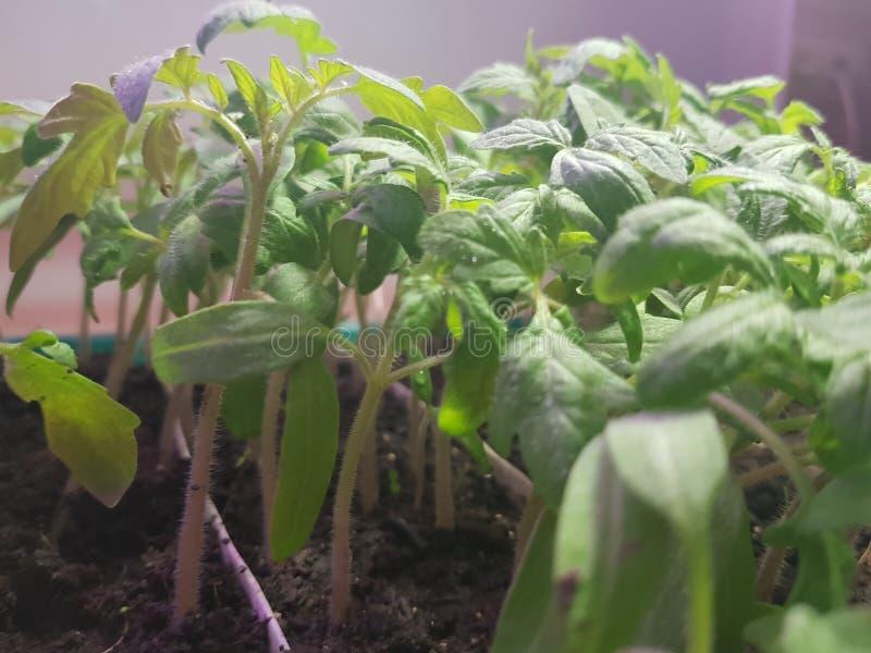 Plantor - mycket h?rliga plantor av tomaten eller tomaten i ett magasin eller magasinet f?r plantor royaltyfria foton
