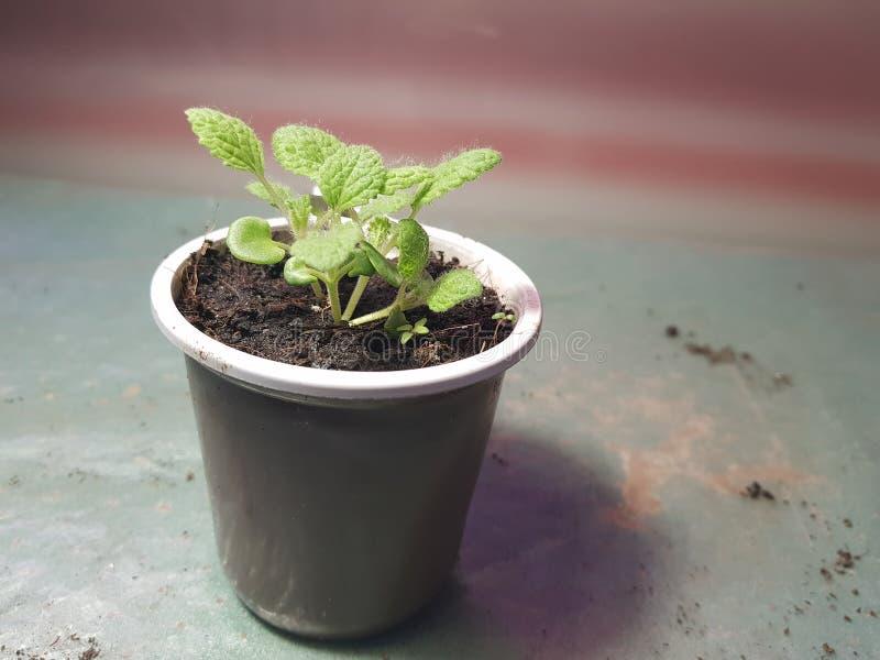 Plantor - mycket h?rliga plantor av vis man i en kruka arkivfoto