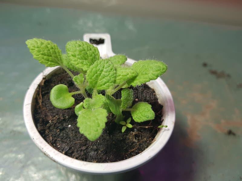 Plantor - mycket h?rliga plantor av vis man i en kruka royaltyfria bilder