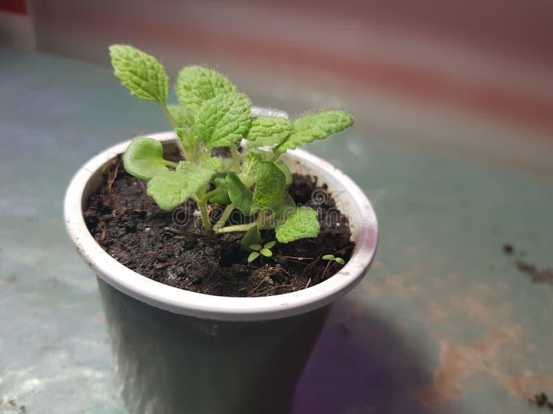 Plantor - mycket h?rliga plantor av vis man i en kruka arkivfoton