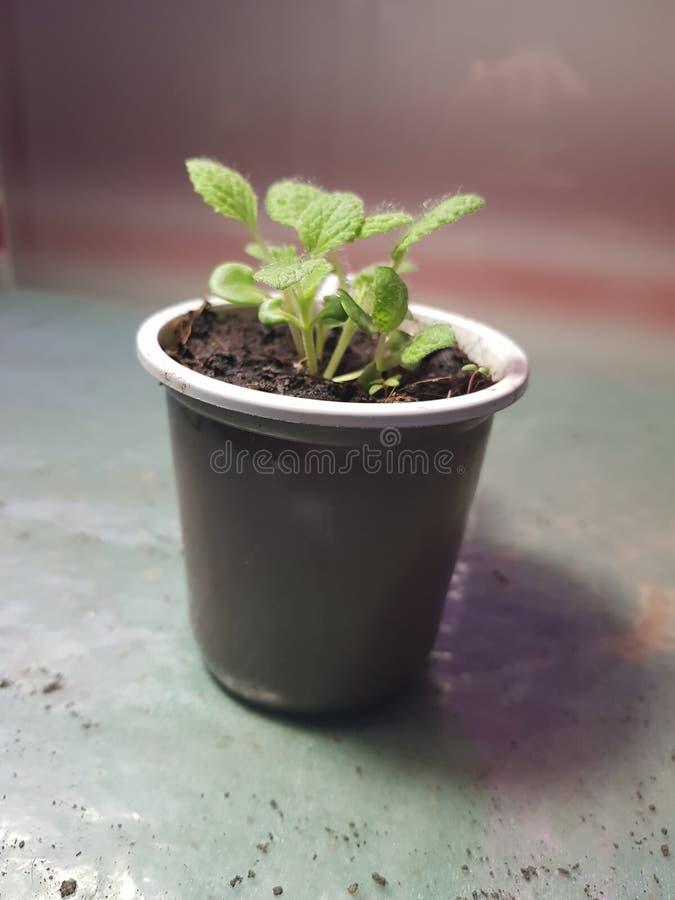 Plantor - mycket h?rliga plantor av vis man i en kruka royaltyfri foto