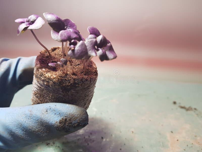 Plantor - mycket h?rliga basilikaplantor i en kruka i en behandskad hand fotografering för bildbyråer