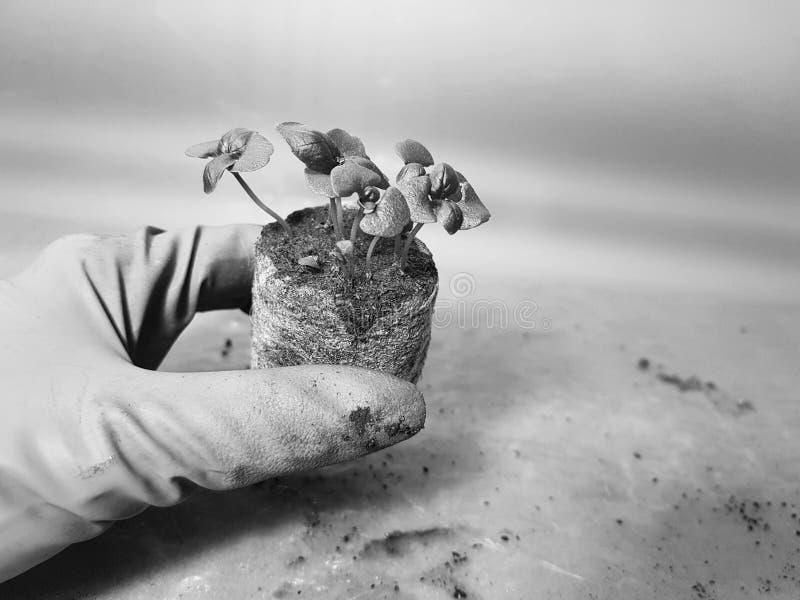 Plantor - mycket h?rliga basilikaplantor i en kruka i en behandskad hand royaltyfria bilder