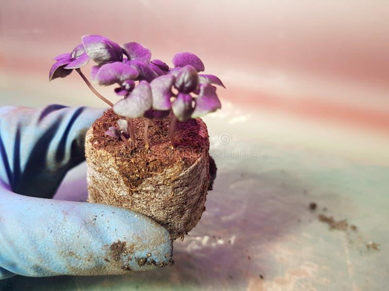 Plantor - mycket h?rliga basilikaplantor i en kruka i en behandskad hand arkivbilder