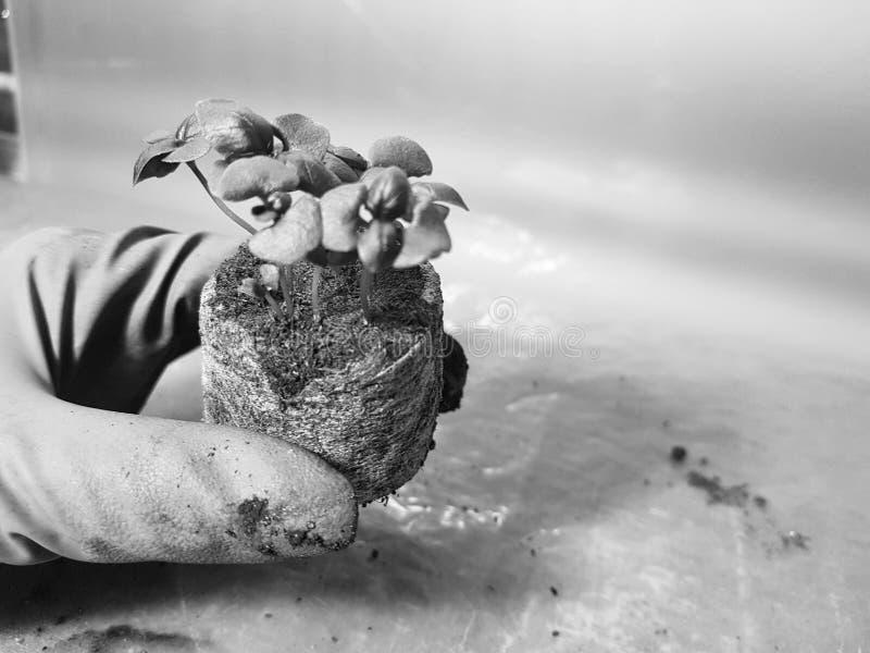 Plantor - mycket h?rliga basilikaplantor i en kruka i en behandskad hand arkivfoton