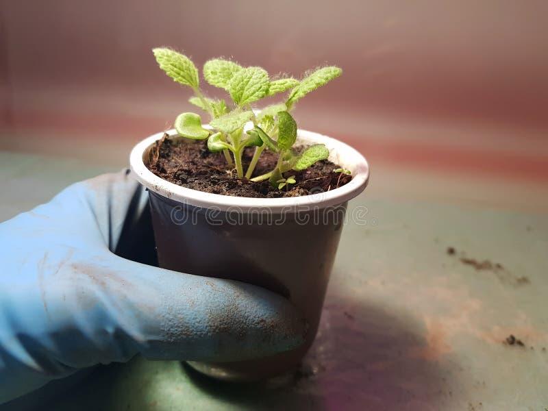 Plantor - mycket h?rliga visa plantor i en kruka i en behandskad hand royaltyfria foton