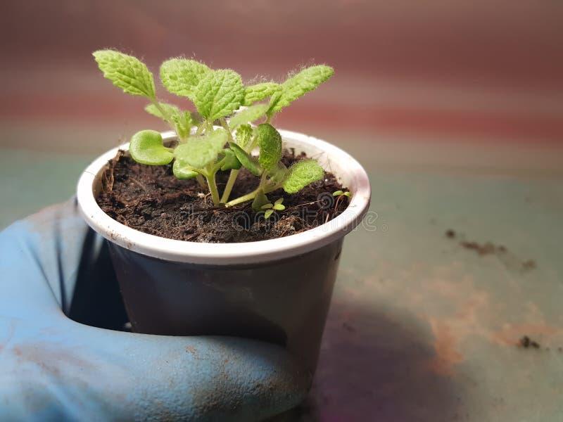 Plantor - mycket h?rliga visa plantor i en kruka i en behandskad hand arkivfoton