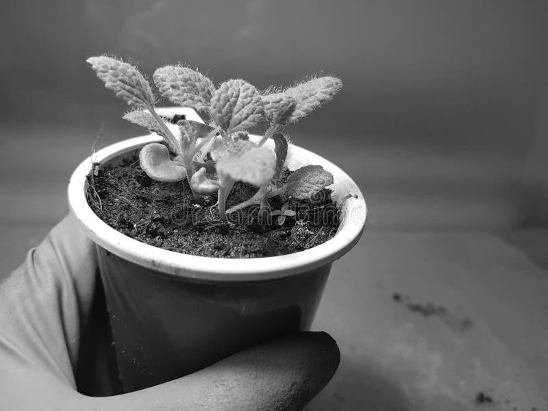 Plantor - mycket h?rliga visa plantor i en kruka i en behandskad hand royaltyfri fotografi