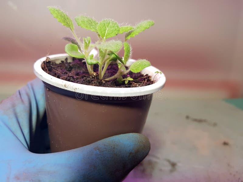 Plantor - mycket h?rliga visa plantor i en kruka i en behandskad hand royaltyfria bilder