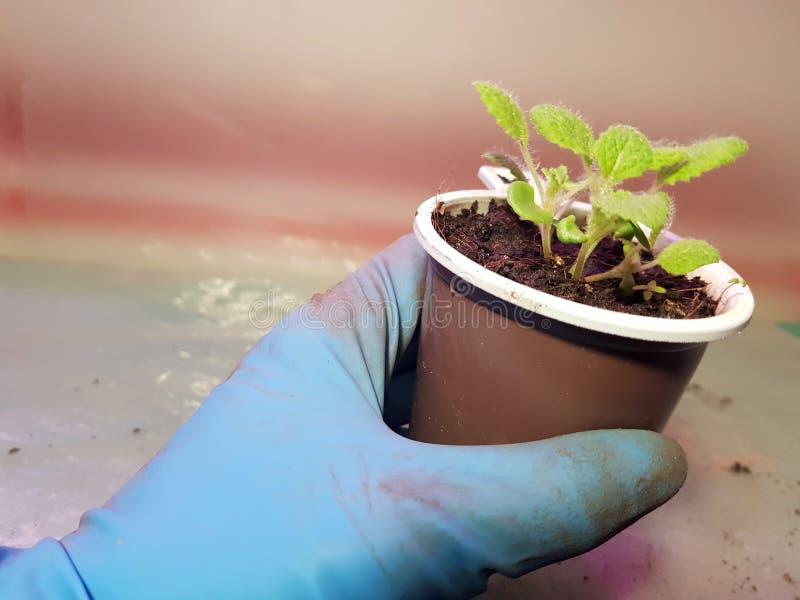 Plantor - mycket h?rliga visa plantor i en kruka i en behandskad hand royaltyfri foto
