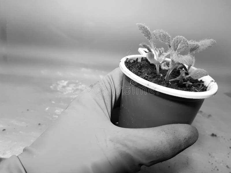 Plantor - mycket h?rliga visa plantor i en kruka i en behandskad hand arkivbilder