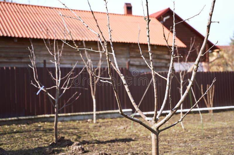 Plantou recentemente árvores de fruto novas leafless em um jardim adiantado da mola fotos de stock