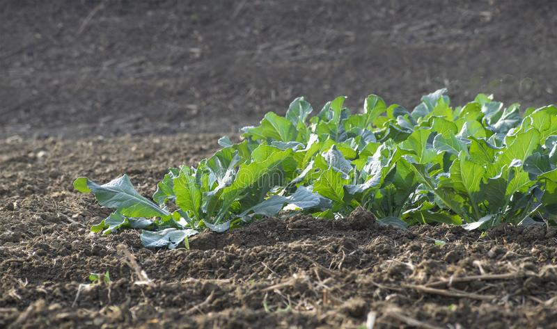 Plants of Cauliflower in the field . stock photography
