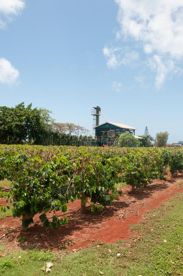 Plants with coffee beans grow at a farm in Kauai, Hawaii. Plants with coffee beans grow in neat rows at a farm in Kauai, Hawaii. In the background is a building stock photos
