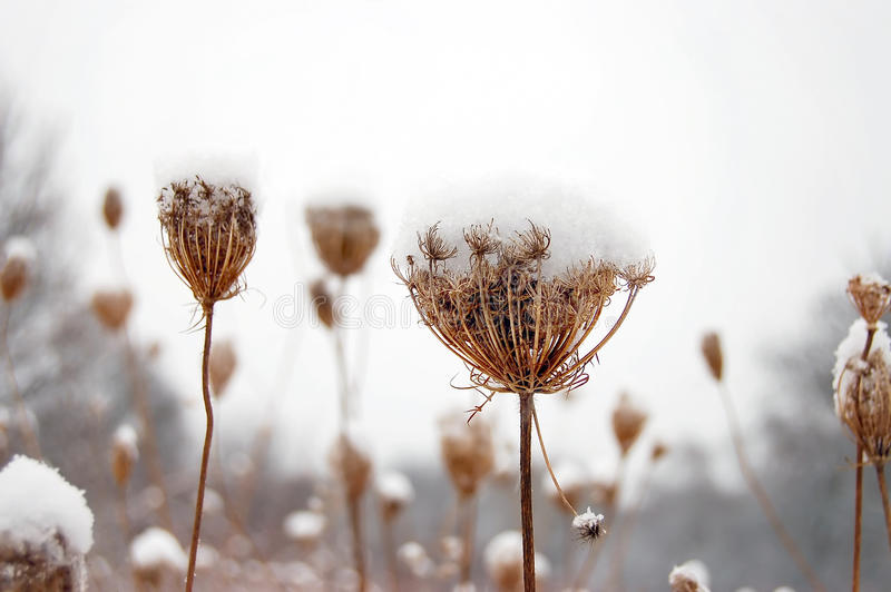 Download Plants covered by snow stock image. Image of gray, grass - 11715969
