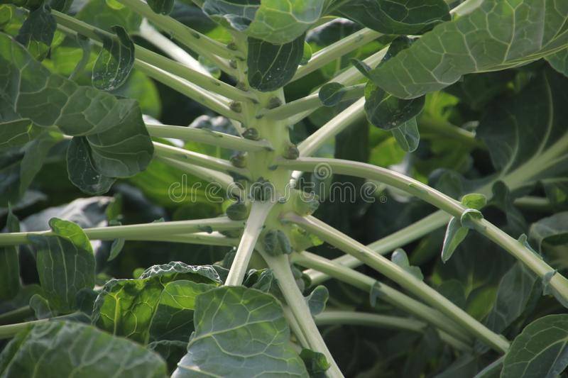 Plants on a farmland in Moerkapelle with small brussels sprouts growing in the Netherlands. stock photography