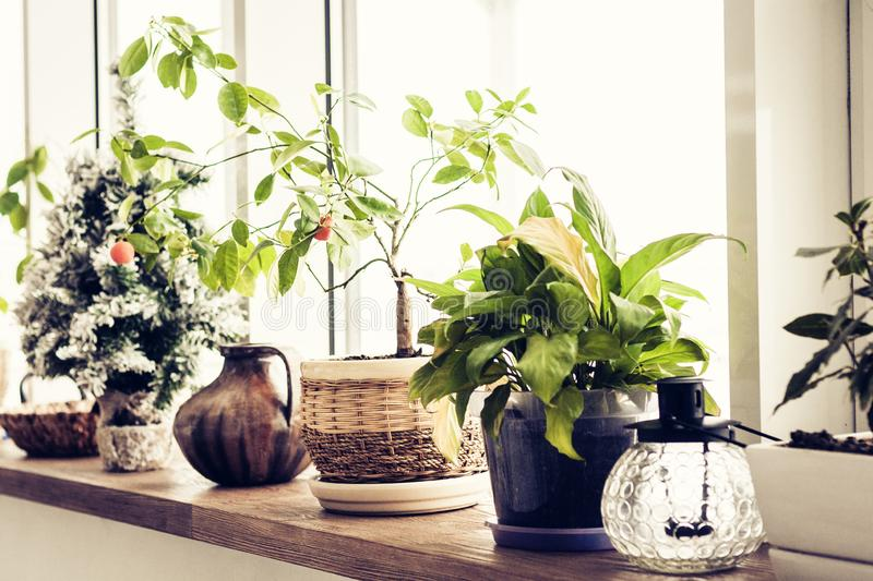 Plants in flower pots on the windowsill.  stock photography