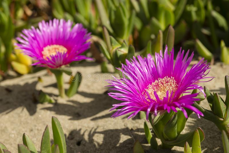 Plants and flowers of Hottentot fig on sand beach in Italy. Carpobrotus edulis is a ground-creeping plant with succulent leaves, native to South Africa. Also stock photography