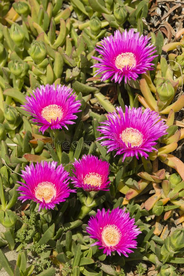 Plants and flowers of Hottentot fig on sand beach in Italy. Carpobrotus edulis is a ground-creeping plant with succulent leaves, native to South Africa. Also royalty free stock photos