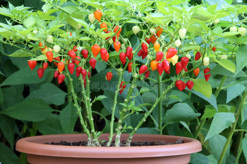 Plants and fruit chilli peppers in a flower pot royalty free stock photography