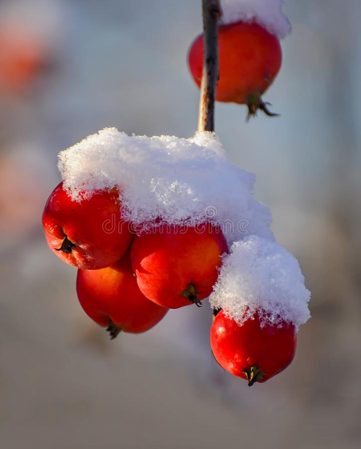 Plants and fruits under the first fluffy snow. Sunny autumn October morning. royalty free stock photos